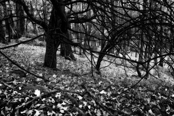 Old apple trees