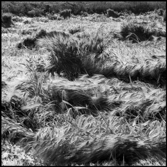 Waves of wheat  1