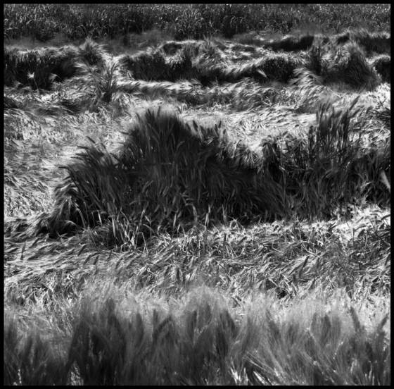 Waves of wheat  10