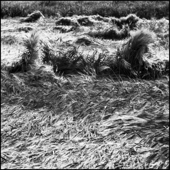 Waves of wheat  2