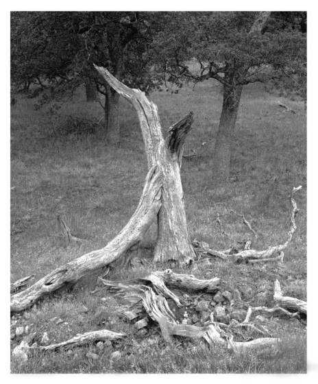 12    fallen oak