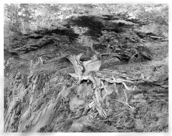 4    monterey cypress