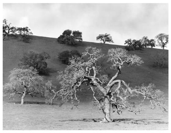 6    live oaks