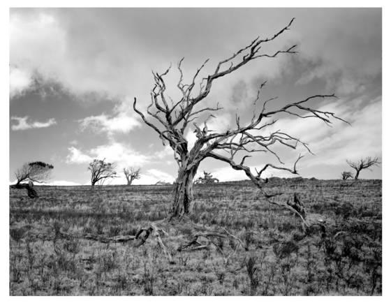 7    mauna kea tree study
