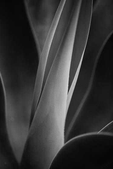 Foxtail agave i