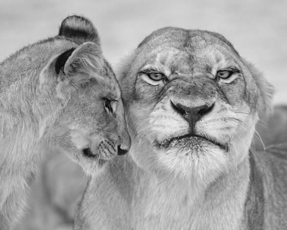 2 lionness   cub