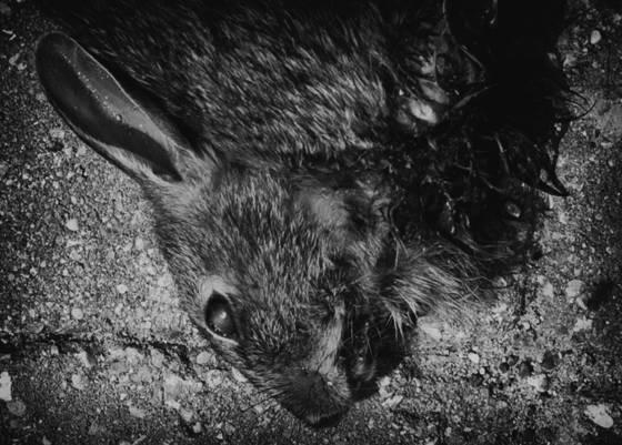 Dead rabbit