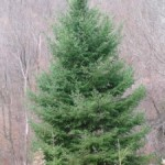 Earth-Friendly Christmas Trees from an Old Montclair Family