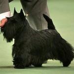 135th Westminster Dog Show, February 14-15