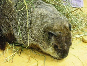 County Groundhog Predicts Steelers to Win Super Bowl