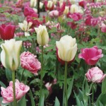 """""""May in Montclair"""" Call For Artists And Tulip Sponsorships"""