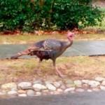 Turkeys in the Ridge