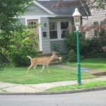 NJ Deer to Receive Contraceptives?