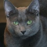 Russian Blue Cat Missing in Glen Ridge