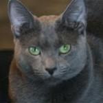 Russian Blue Cat Missing in Glen Ridge