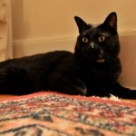 Black Cat Missing, Upper Mountain Avenue, Montclair