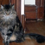 Maine Coon Tabby Cat Missing in Montclair