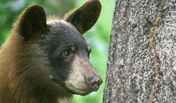 Black Bear Spotted In Verona, May Be Headed Toward Montclair
