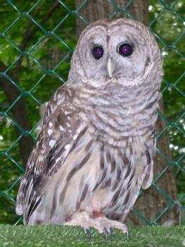 rp_Barred-Owl.jpg