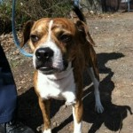 Male Beagle Mix Found in Caldwell