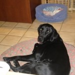 Male Black Lab Missing in Montclair