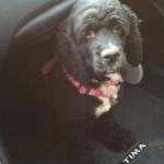 Female Cocker Spaniel Found in Brookdale Park
