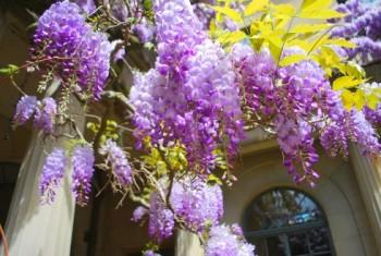 wisteria open
