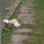 Anyone Lose A Ferret? (UPDATED – Found!)