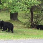 Black Bear Family On the Move
