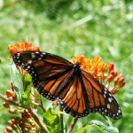"""Gardening For Birds And Butterflies"" Talk At Montclair Bird Club On Wednesday"