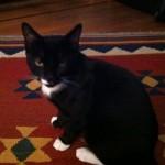 Friendly Male Tuxedo Cat Found at Glen Ridge Train Station