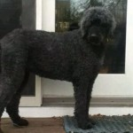 Found Standard Poodle in Montclair — Is She Yours? (UPDATED)