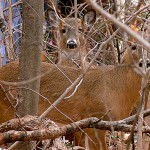 Essex County Deer Management Program to Begin on January 27