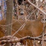 Essex County Deer Management Program to Begin on January 27