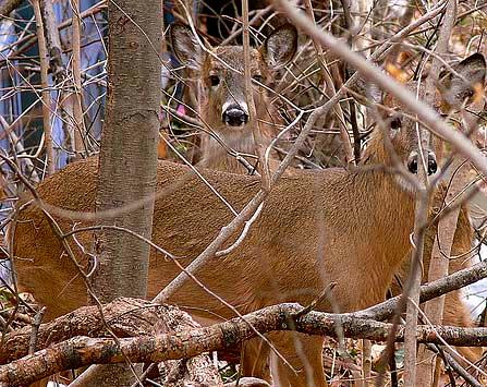 Essex County Deer Management Program