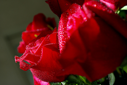 Val Day Red Rose