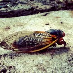 They're HEE-ere…The Cicadas Have Arrived. UPDATED!