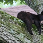 Verona Black Bear: Wanders, Naps, Leaves