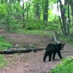 Everything You Always Wanted To Know About The Bears In Mills Reservation*