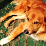 Lost Golden Retriver Mix in Montclair