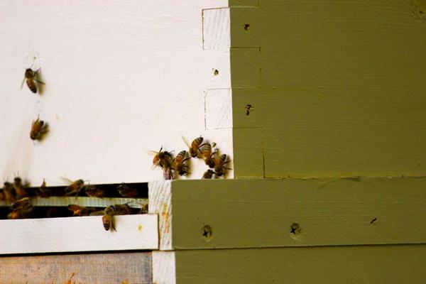 salbuen honey bees