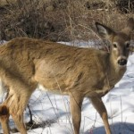 Marksmen Return To South Mountain For The Essex County Deer Management Program