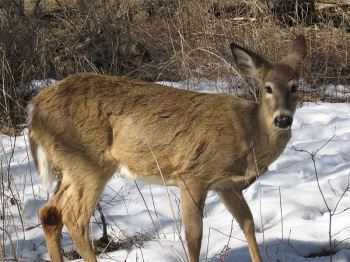Marksmen Return To South Mountain For Essex County Deer Hunt