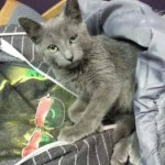 Grey Kitten Missing from Gould Place in Caldwell