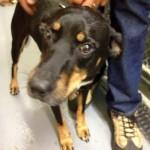 Lost Dog at Montclair Animal Shelter