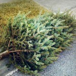 Un-Decking the Halls: Christmas Tree Curbside Collection