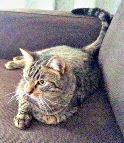 Lost Cat in Montclair