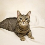 Affectionate Cat at Cameron Animal Hospital in Need of a Family
