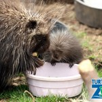 Turtle Back Zoo Welcomes Porcupette Just in Time for Mother's Day