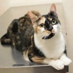 Sweet Calico Cat at Cameron Animal Hospital in Need of a Family